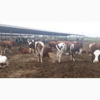 КРС мясо-молочных пород
