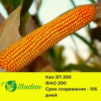 Семена кукурузы Каз-ЗП 200