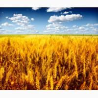 Закупаем пшеницу 4, 5 класс по гост.Ячмень фуражный в больших количествах