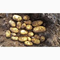 Картофель семенной Джувел Элита