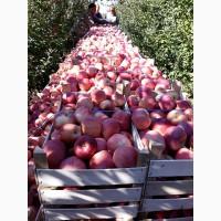 Оптом яблоки от 5 тонн