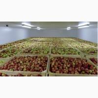 Продаем качественные польские яблоки, фрукты