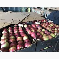 Яблоко в Белорусии от Производителя