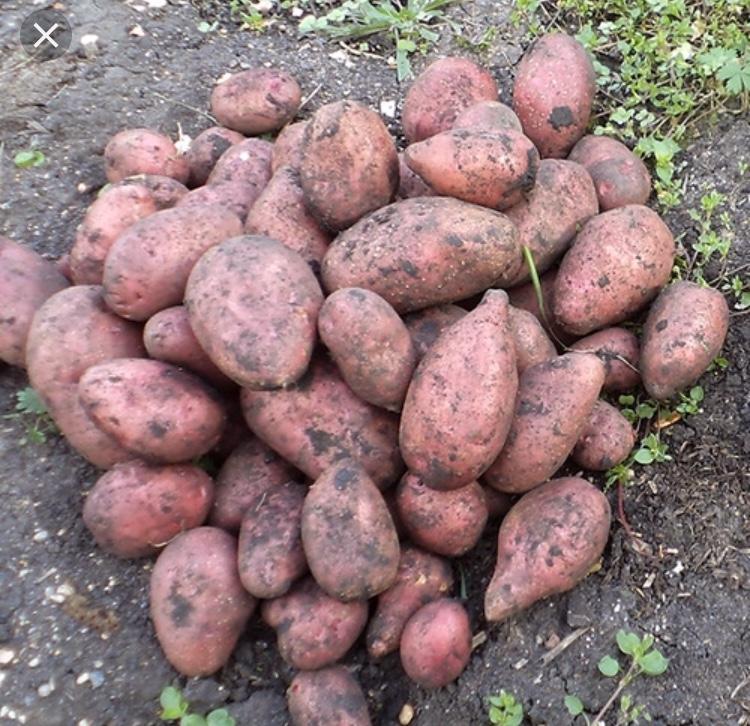 скромных картошка повинь фото вид хищников
