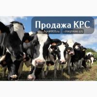 Продажа оптом по России Молочные породы КРС, Продажа племенных нетелей