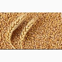 Закупаем пшеницу мягкую 3 класса с 30 клейковиной