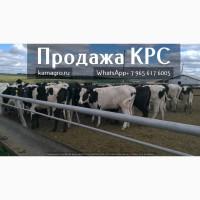 Продажа дойных коров