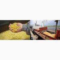 Кукуруза фуражная 15000 тн