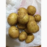 Продажа картофеля сорта ГАЛА (размер семенного)