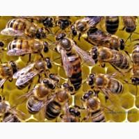 Продаю пчел на высадку карника карпатка бакфаст