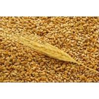 Пшеница DAP Сарыагаш