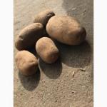 Реализуем продовольственный картофель в Беларуси