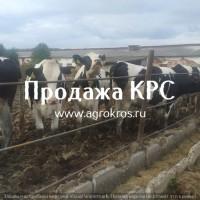Продажа оптом по России Молочные нетели КРС, Продажа племенных нетелей