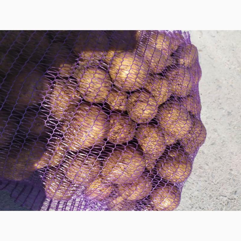 вашем свежевыкопанный картофель гала фото новый