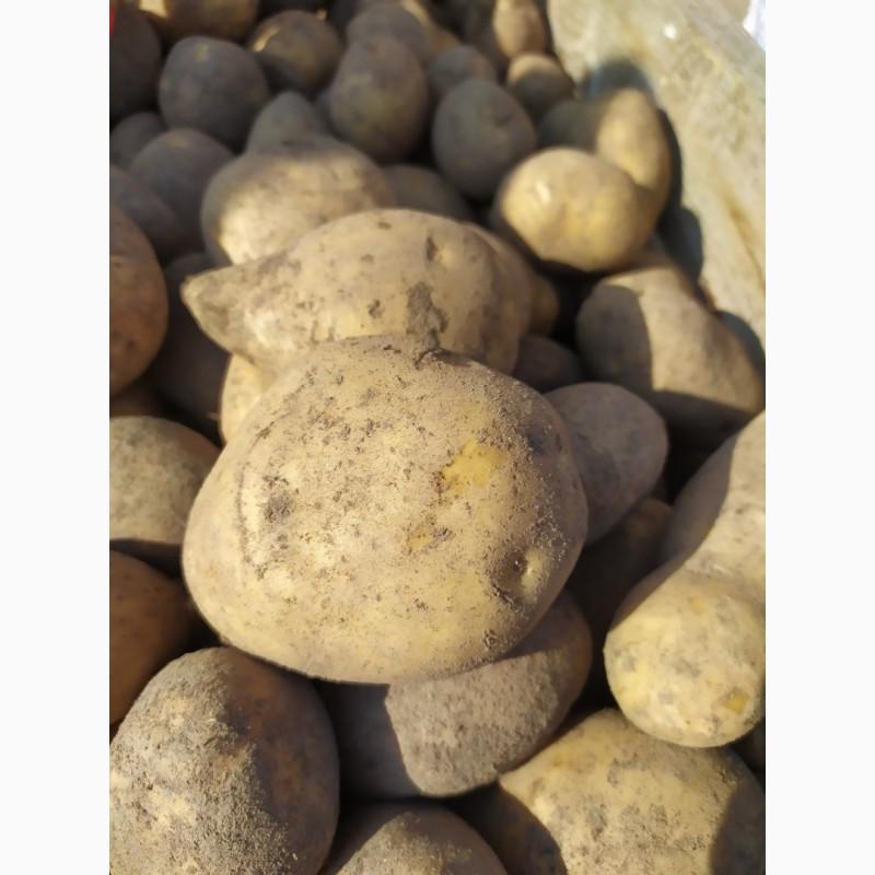 картофель бриз фото видов