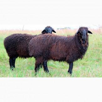 Овцы Эдильбаевской породы