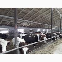 Продам быков, коров, телок, нетелей, тельных коров