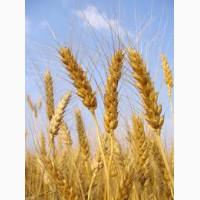 Куплю пшеницу 4 класс экспорт Узбекистан