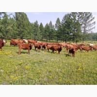 Поставки племенного скота из России