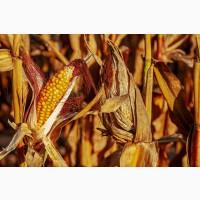 Продам семена сои, пшеницы, ячменя и кукурузы от производителя