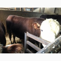 Откормленные быки