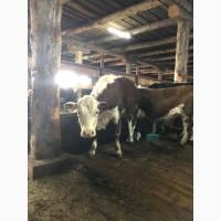 Реализуем сельскохозяйственных животных в рамках Таможенного Союза и стран СНГ