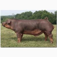 Мясо свинина домашняя продам
