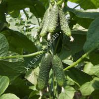 Семена огурца-корнишона КАМИНАРИ F1