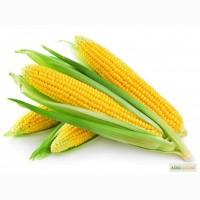 Кукуруза молдавский 456