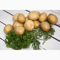 Картофель товарный