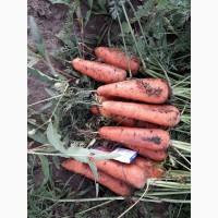 Продаем морковь сорт Болтекс