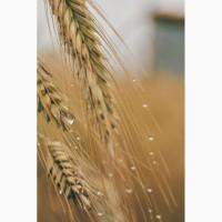Внеклассная пшеница