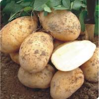 Продам семенной картофель Оптом (Урожай 2018)