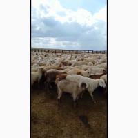 Продаются овцы, бараны породы Байыс
