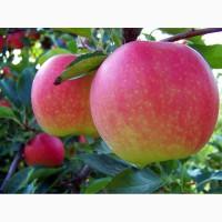 Яблоки калиброванные- Золотой превосход, Американка, Гала