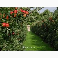 Яблоки с сада оптом Золотой превосход