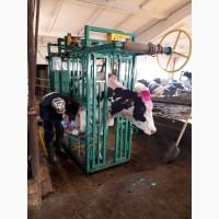 Станок для фиксации крупнорогатого скота