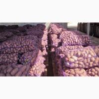 Картофель оптом 60 тг./кг