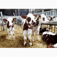 Нетели, телки, бычки на мясо, на откорм, на молоко из России