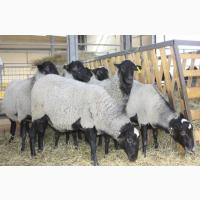 Предоставляем на експорт с Украины - МРС (овцы, ягнята) живой вес